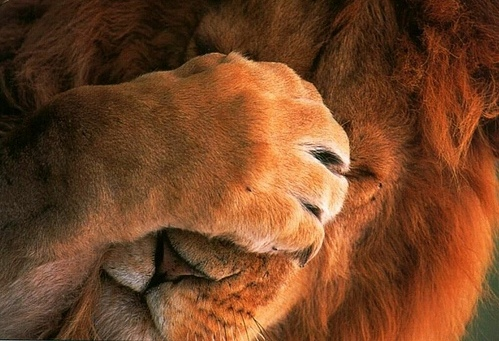 lion-in-shame